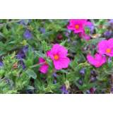Cistus Sunset 3lt