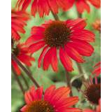 Echinacea Sunseekers Red 3lt