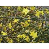 Jasminum nudiflorum 2lt