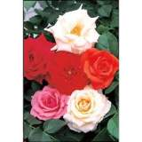 Rosa assorted Climbers 3lt