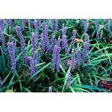 Liriope muscari Big Blue 2lt