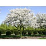 Amelanchier lamarckii MS 200-250cm rb