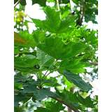 Acer plat. Emerald Queen 18-20cm rb