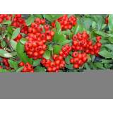 Pyracantha Red Column 3lt