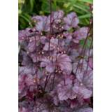 Heuchera Palace Purple 2lt