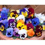 Bedding Pansy Mixed 6 pk