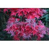 Acer pal. Skeeters Broom 5lt