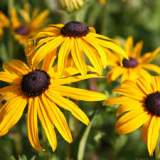 Rudbeckia Goldstrum 2lt