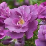 Rosa Rhapsody in Blue 4.5lt