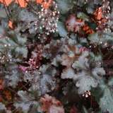 Heuchera Black Beauty 2lt