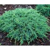 Juniperus Blue Carpet 3lt