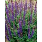 Salvia East Friesland 2lt