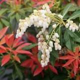 Pieris Forest Flame 3lt