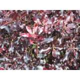 Pittosporum Tom Thumb 5lt