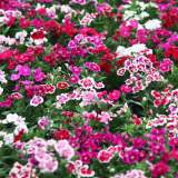 Bedding Dianthus mixed 6pk
