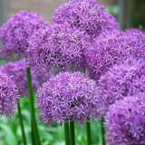 Allium Purple Sensation 2lt