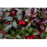 Gaultheria pro. Pink 1.5lt