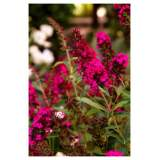 Buddleja Royal Red 2lt