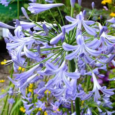 Agapanthus Umbrella Blue 2lt