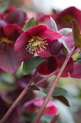 Helleborus Double Anna Red 2lt