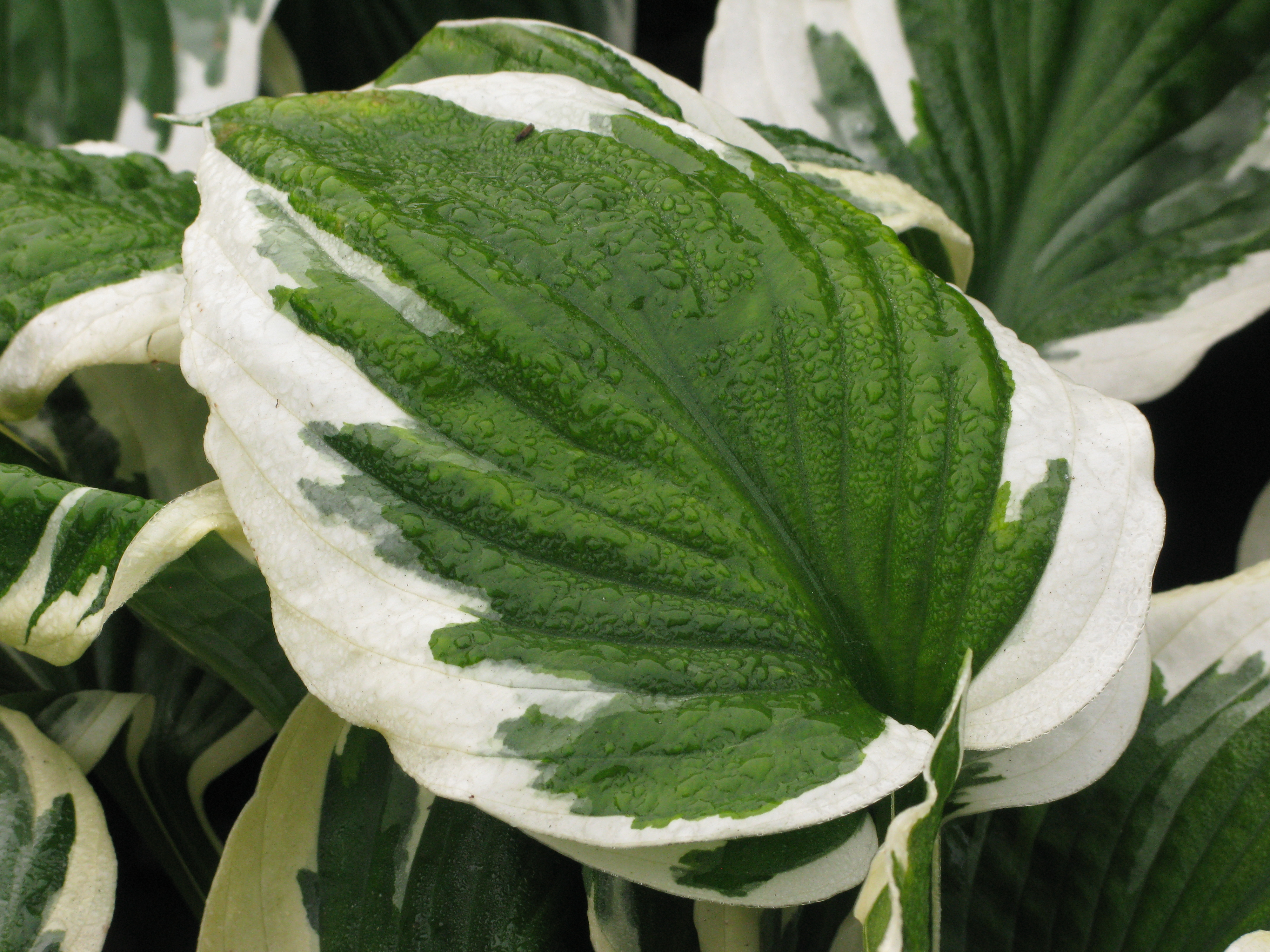 Hosta Patriot 2lt