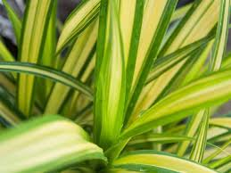Phormium Yellow Wave 2lt