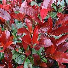 Photinia Red Robin screen 120x80cm 30lt