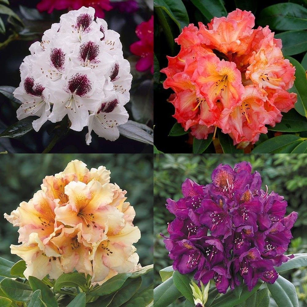 Rhododendron assorted 5lt