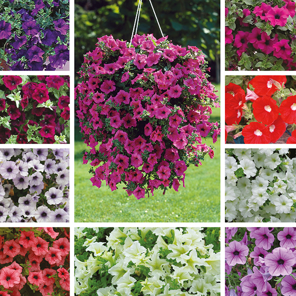 Bedding Surfinia Hanging Basket 24cm