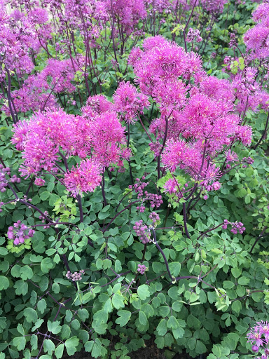 Thalictrum Little Pinkie 2lt